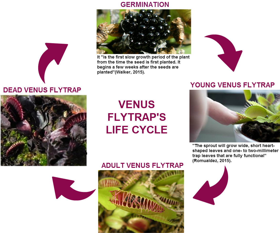 Diagram Venus Flytrap Life Cycle - Wiring Library