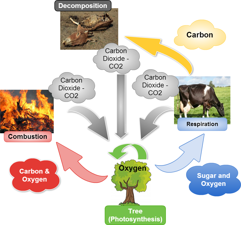 cacoo - carbon oxygen cycle